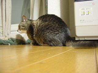 しっぽで床を掃除中−デジカメにて撮影